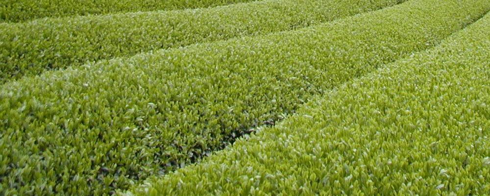 宇治茶の旭園